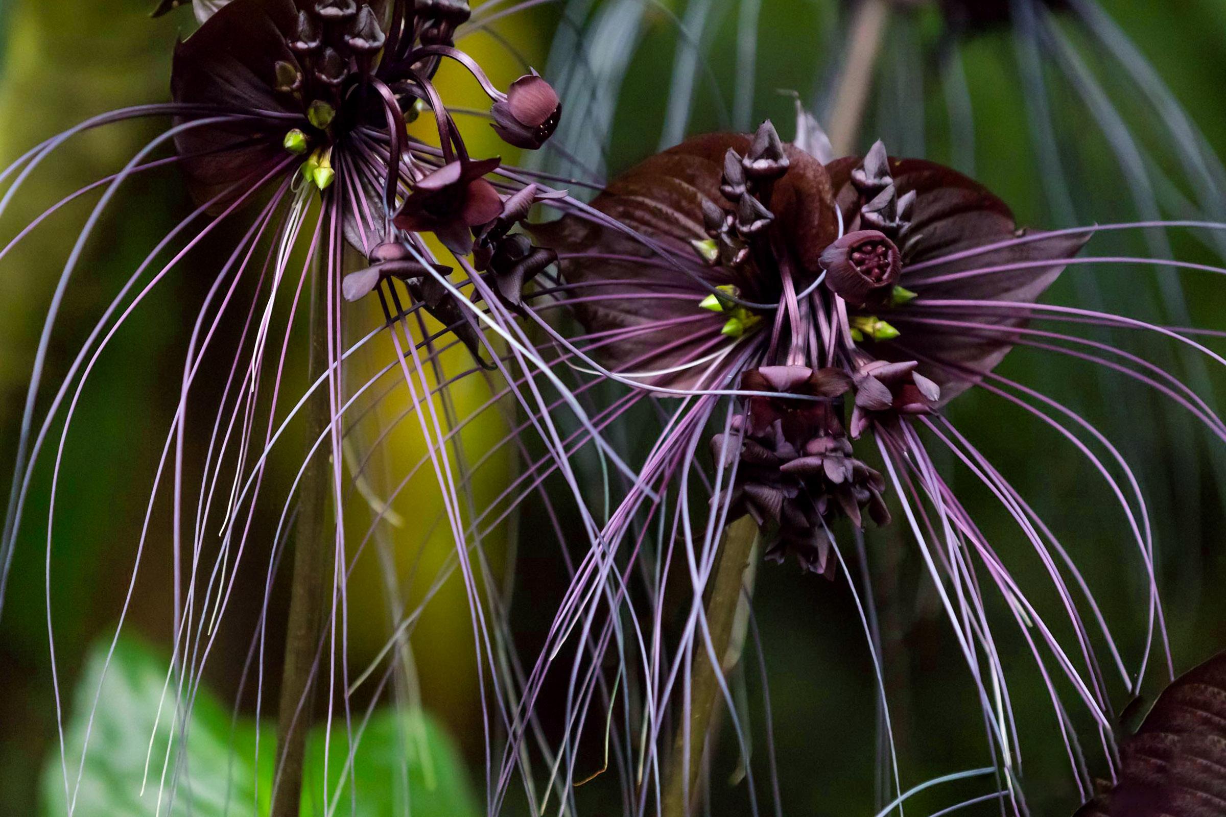 Juoda orchidėja (gėlė)