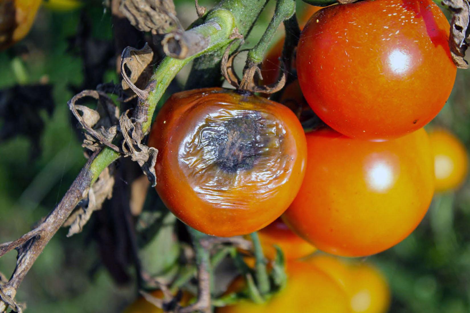 Juodasis vaisių puvinys