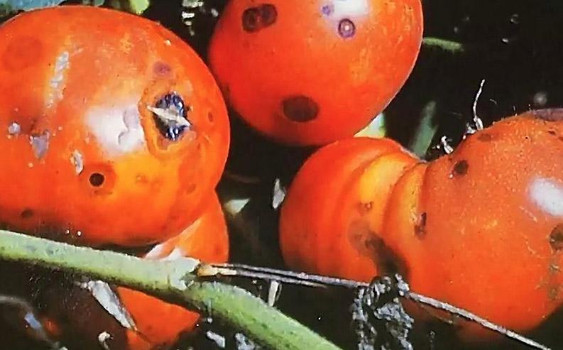 Kaip atrodo juodasis vaisių puvinys