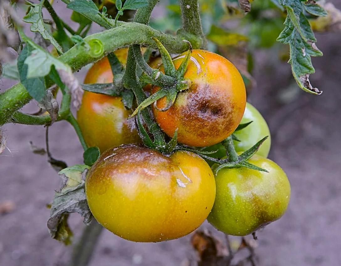 Kaip atrodo pomidorų maras