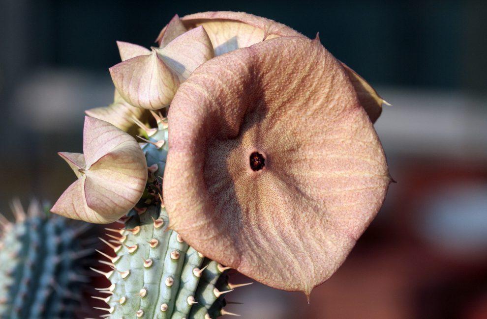 Kaktusas hudija (hoodia gordonii)