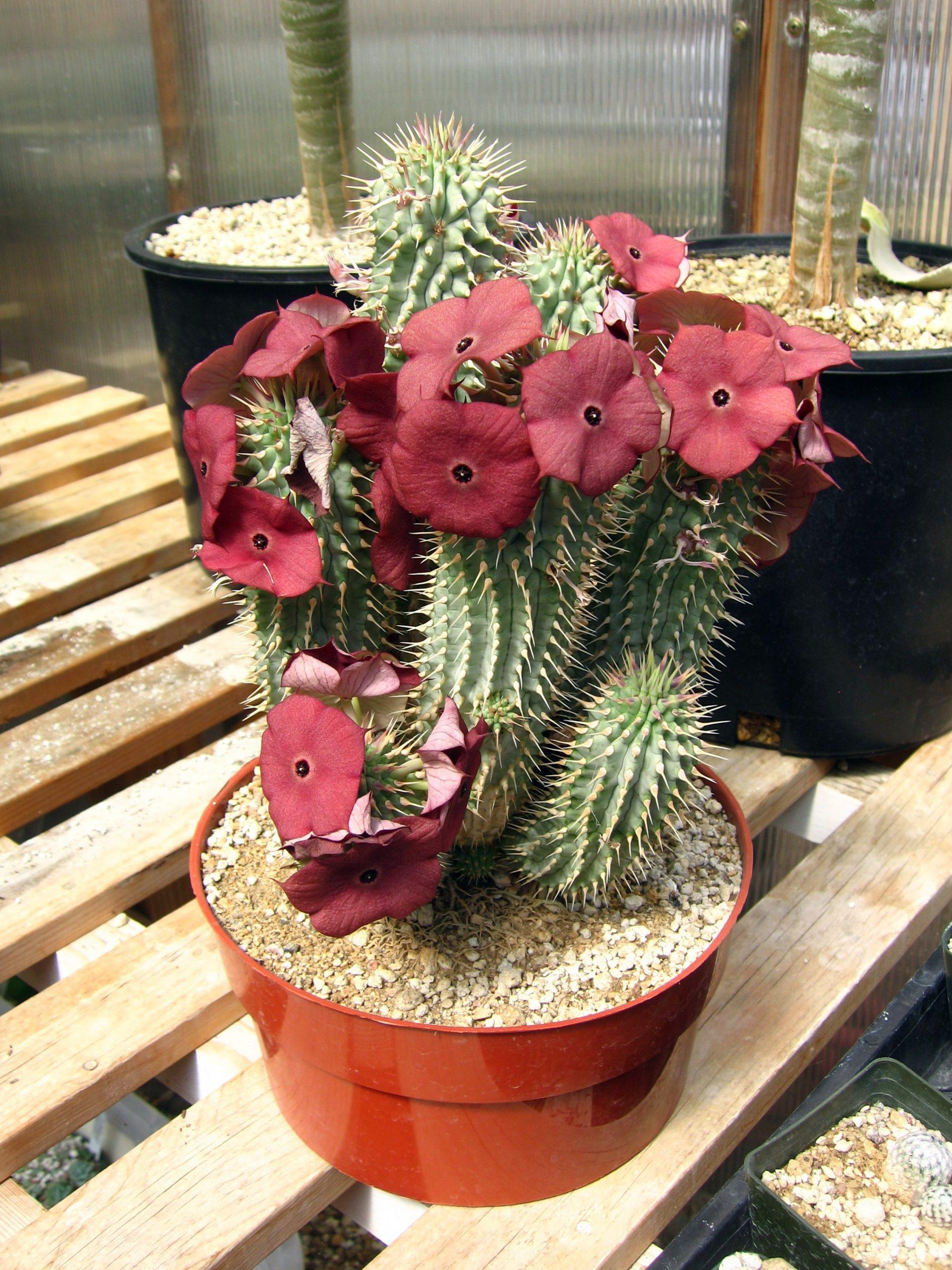 Kaktusas hudija
