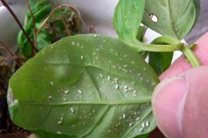 Kambarinių augalų kenkėjai