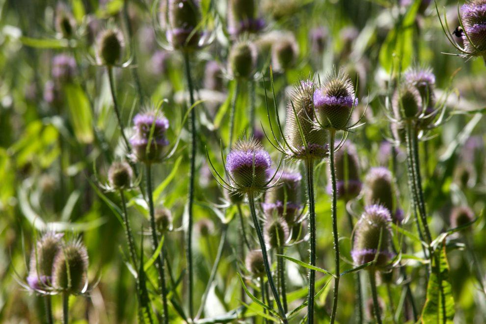 Karšulis (augalas)