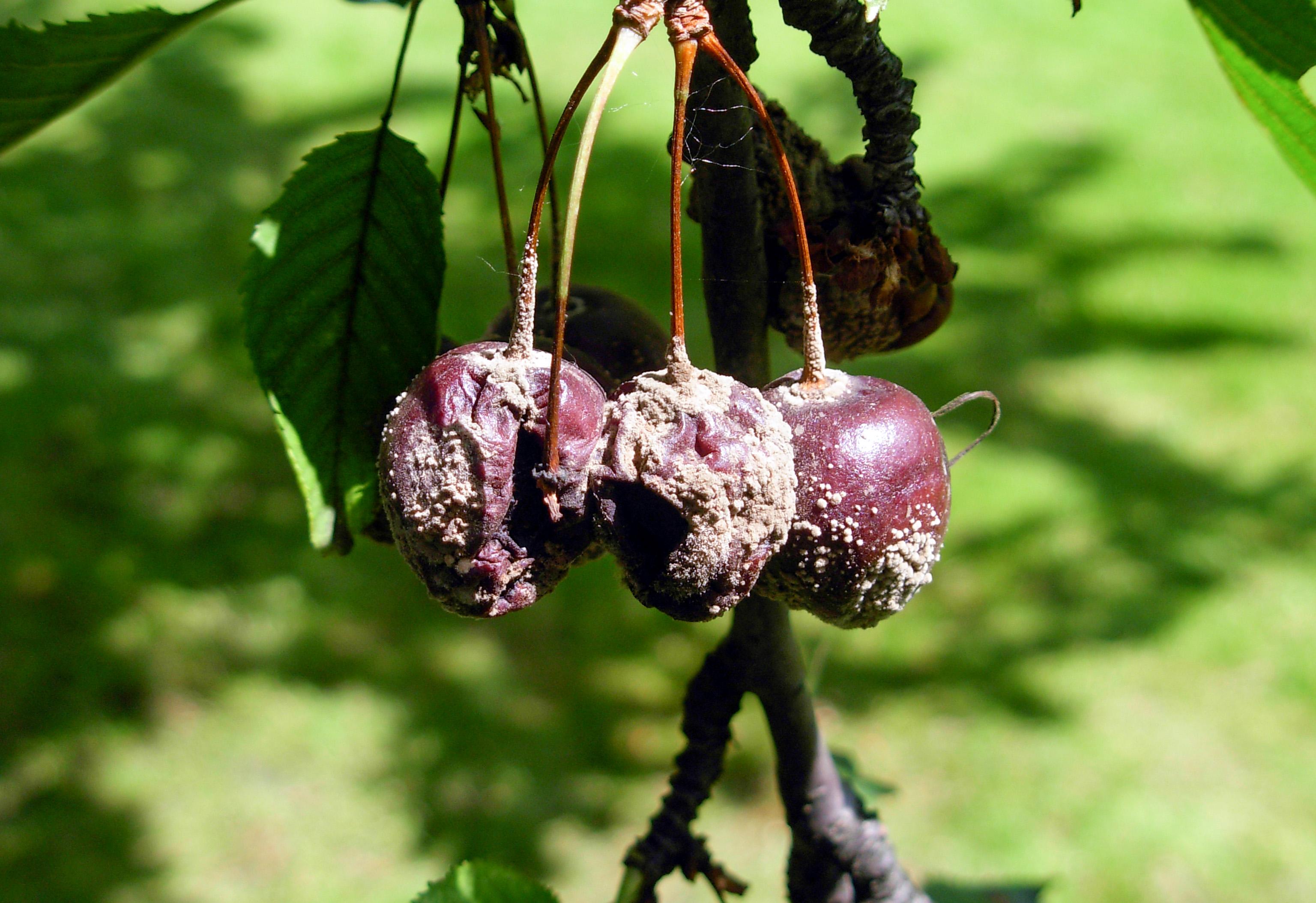 Vyšnių moniliozė