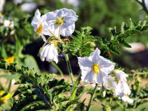 Kiauliauogė Solanum sisymbriifolium