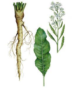 Krieno augalas botanikoje