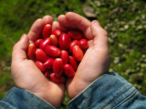 Kvaitulio vaisiai