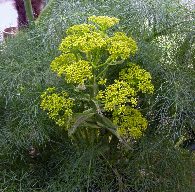 Kvapioji ferula (augalas)