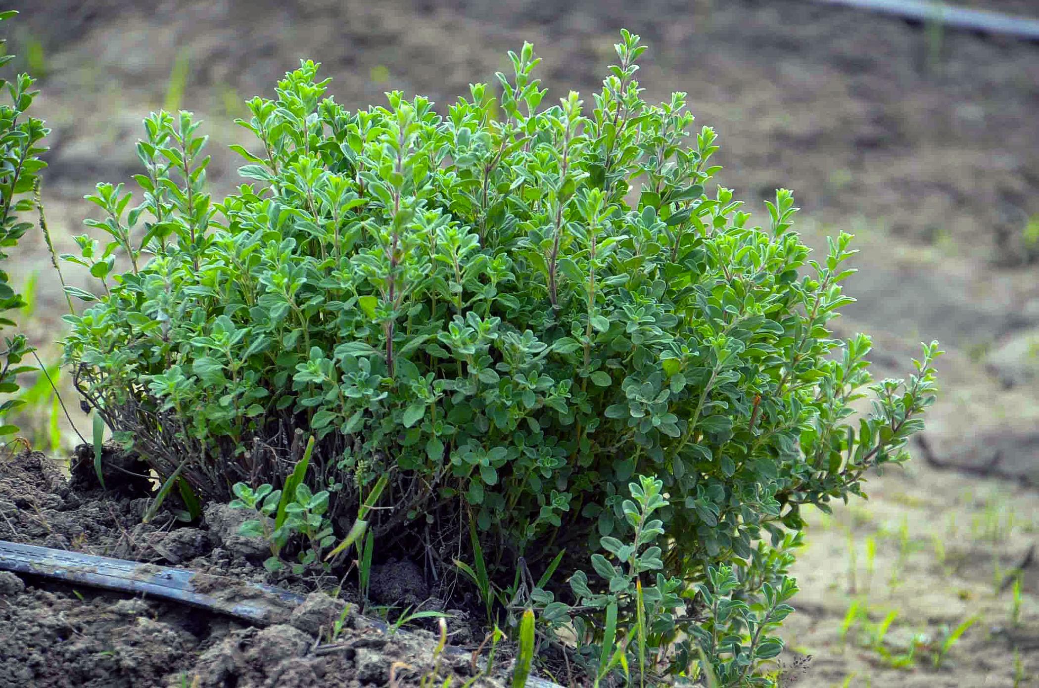 Mairūno auginimas