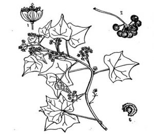Mėnuliasėklis botanikoje