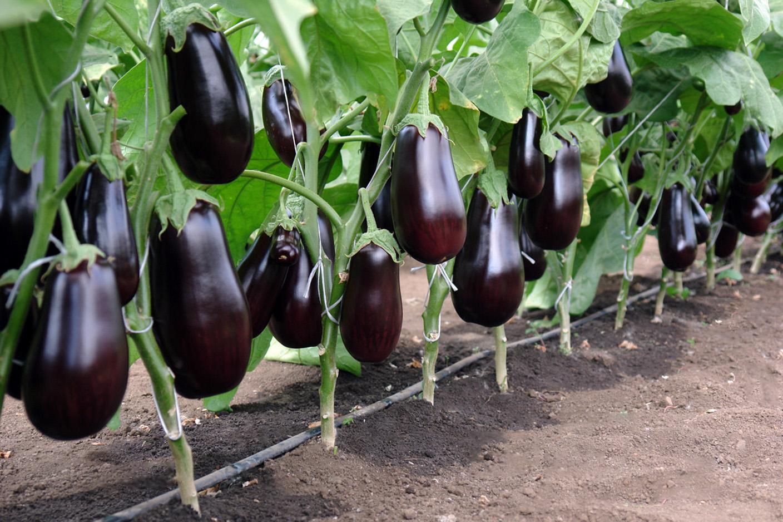 Naminiai baklažanai (violetiniai)