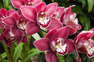 Orchidėja cymbidium