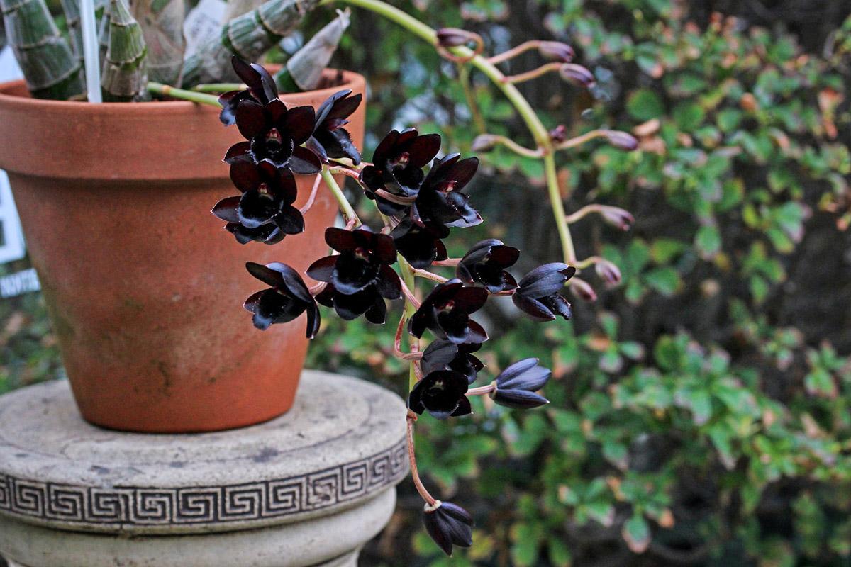 Orchidėja juodais žiedais