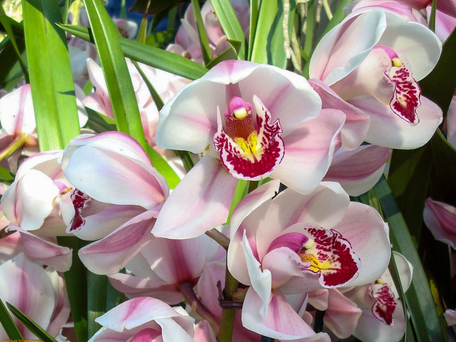 Orchidėjos cymbidium