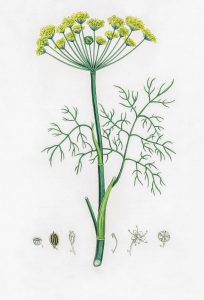 Paprastasis krapas botanikoje