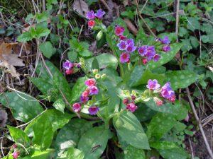 Pavasarinė gėlė plautė