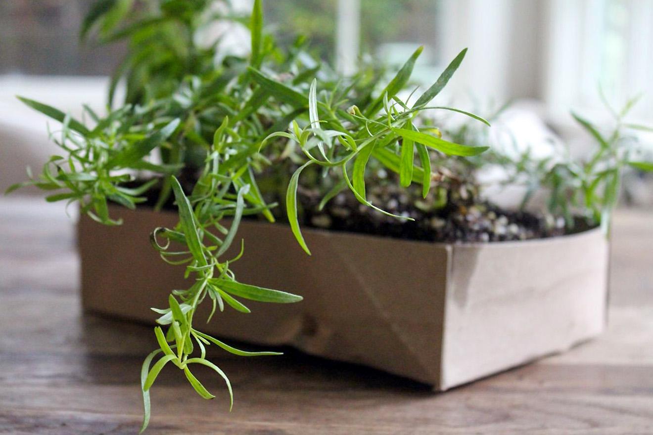 Peletrūno auginimas namuose
