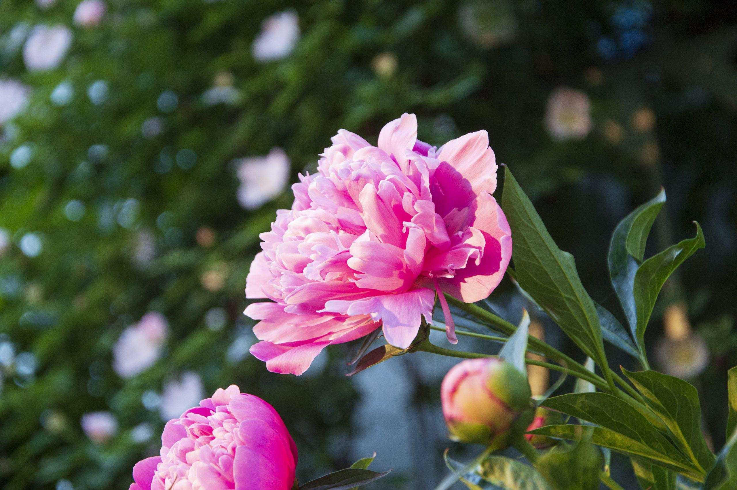 Pinavija gėlė