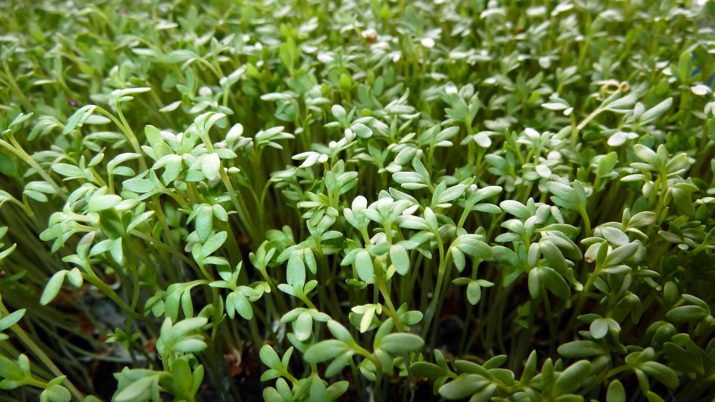 Pipirnės auginimas