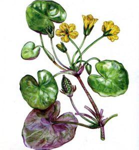 Plaumuonė (botanika)
