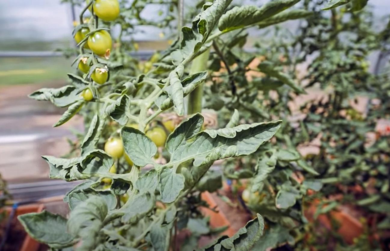 Pomidoro lapai raitosi