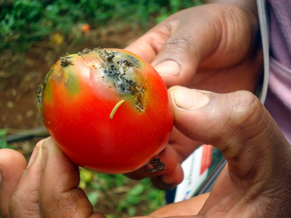 Pomidorų kenkėjai