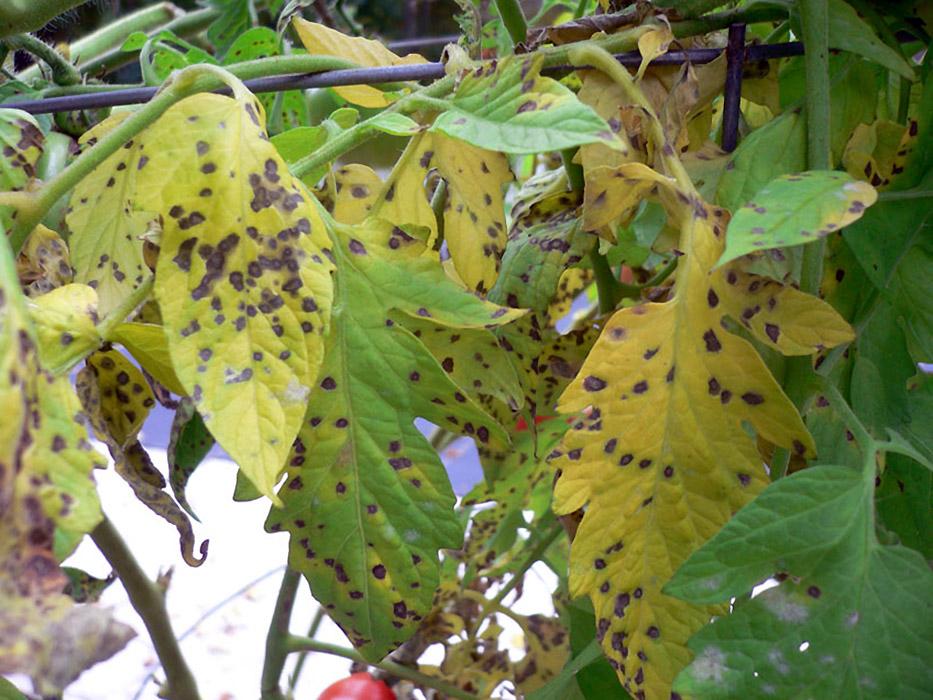 Pomidorų lapų šviesmargė