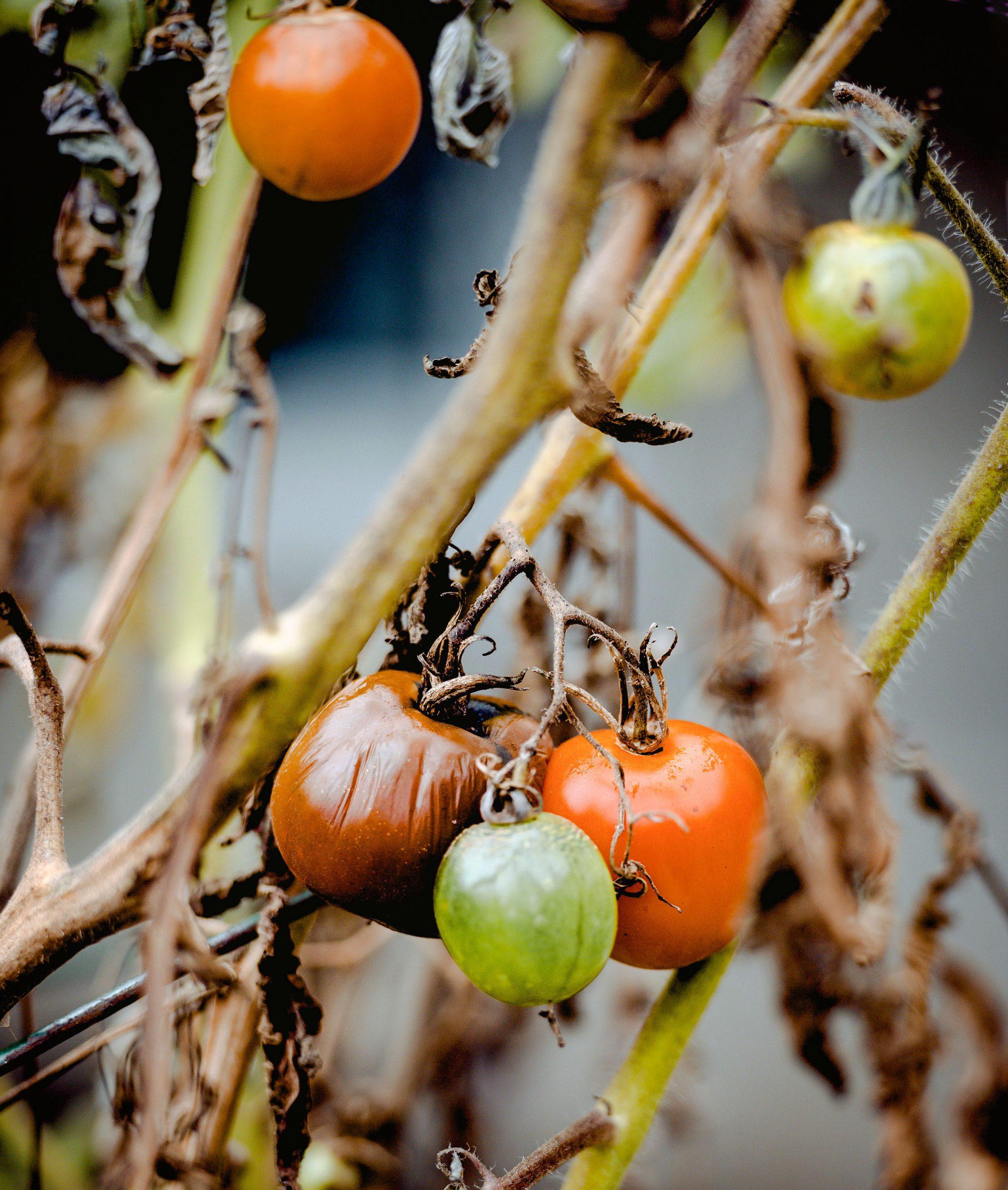 pomidorų maras