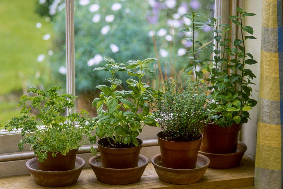 Prieskonių auginimas namuose