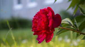 Raudonas bijūnas (pinavija)