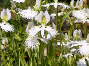 Reta orchidėja