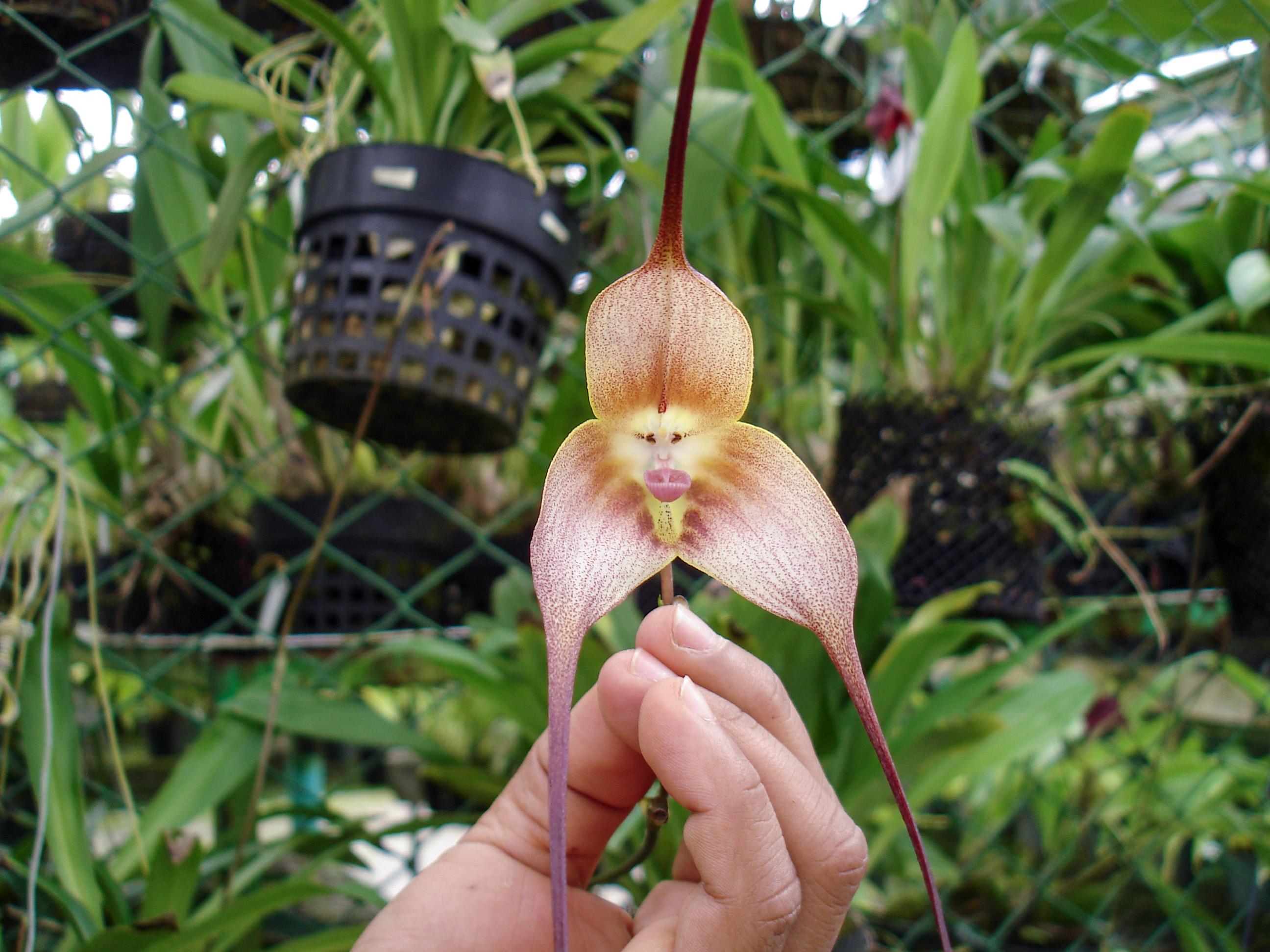 Retas orchidėjos žiedas