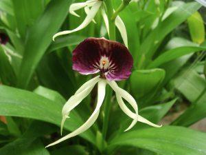 Retesnės orchidėjos rūšys