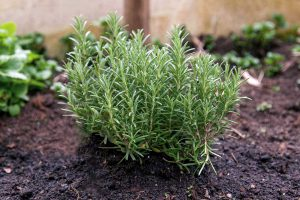 Rozmarino auginimas