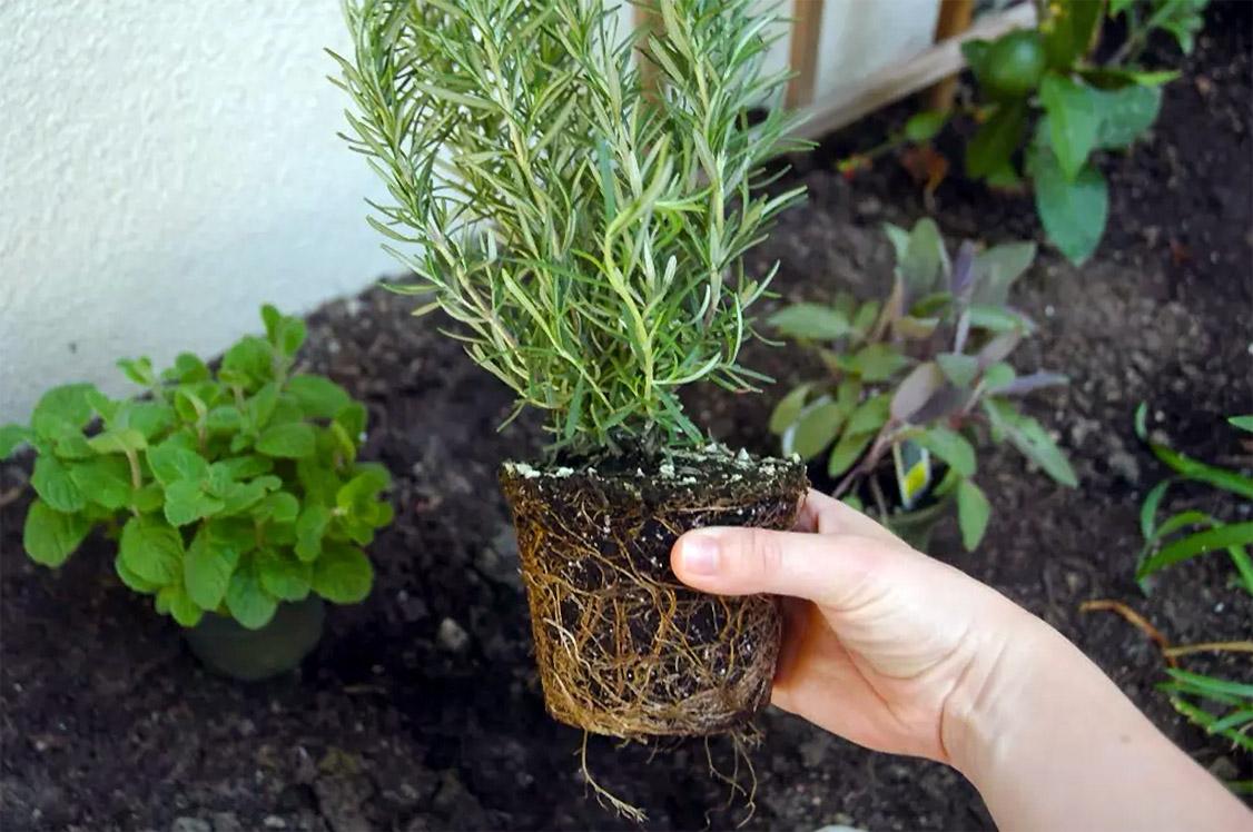 Rozmarinų auginimas