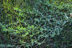 Rūgtis takažolė (polygonum aviculare)
