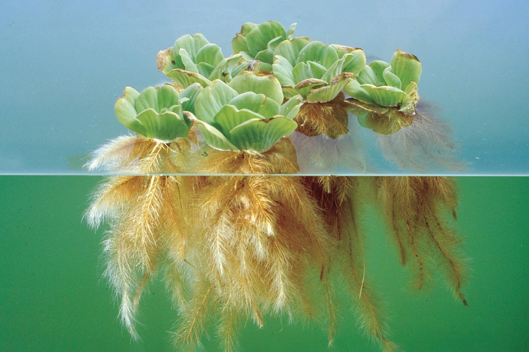 Salotinė pisticija akvariume
