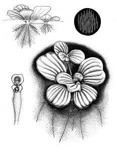 Salotinė pisticija (botanika)