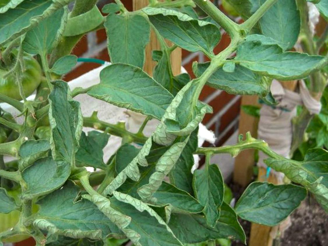 susisukę pomidorų lapai