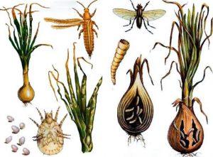 Svogūnus puolantys parazitai