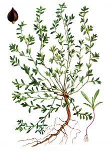 Takažolė botanikoje