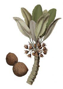 Taukmedžio šakelė botanikoje