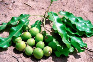 Taukmedžio vaisiai