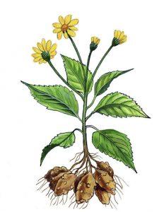 Topinambas botanikoje