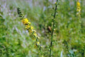 Vaistinė dirvuolė (agrimonia eupatoria)
