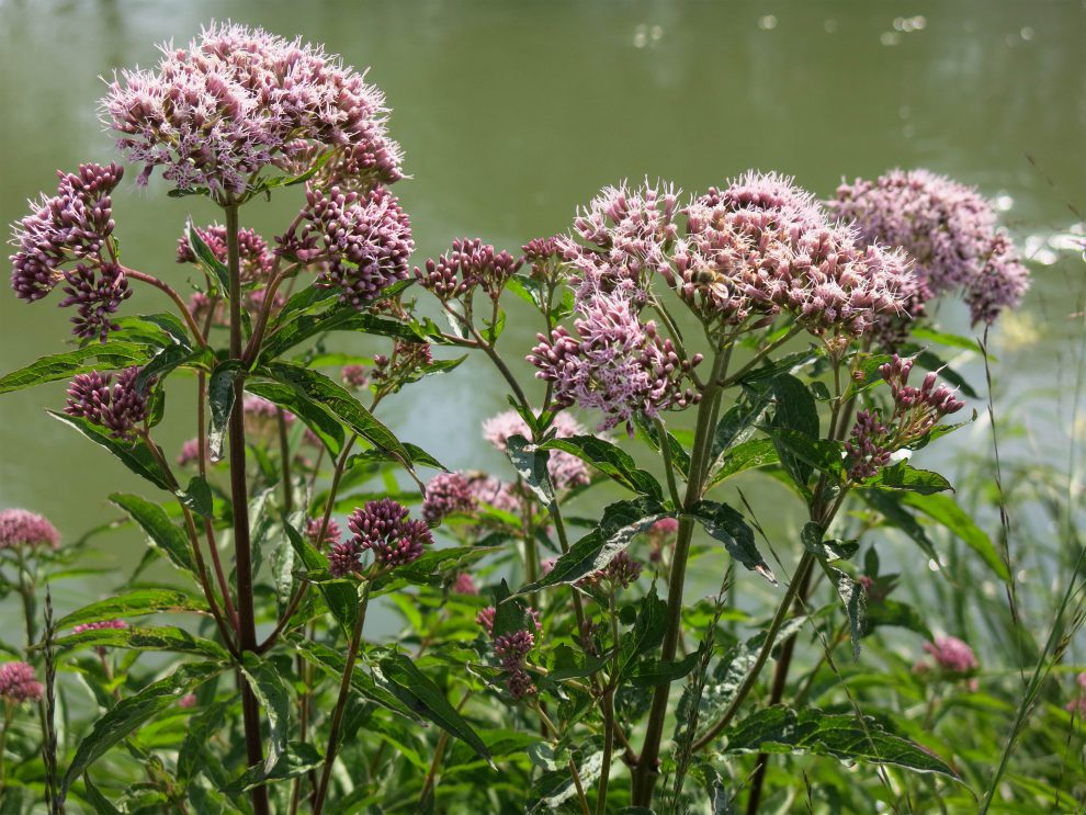 Vaistinio valerijono augalas