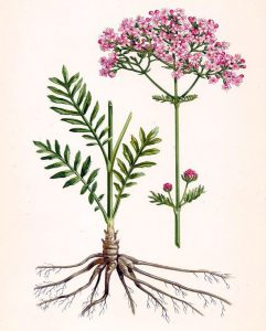 Vaistinis valerijonas botanikoje