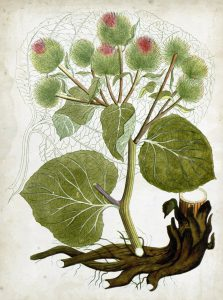 Varnalėša (botanika)