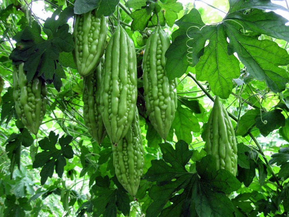 Vijoklinis augalas valgomais vaisiais 'raukšlėtasis svaidenis'